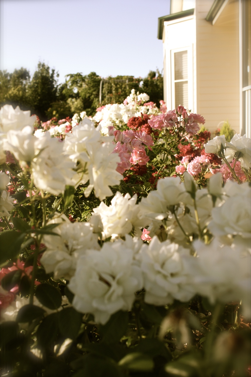Roses along the front of the house.