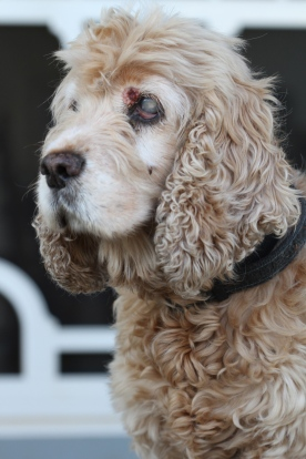 The beautiful Miss Molly. Cataracts on her eyes and about as deaf as you can get, but still the loveliest dog ever.