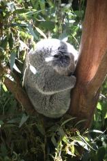 Sleepy little koala.