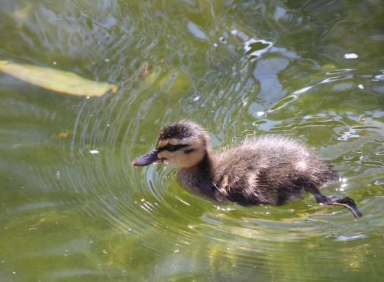 The cutest little ducking