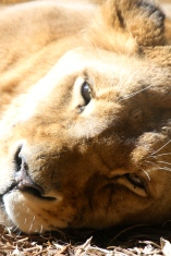 A bit unnerving when a lion looks you right in the eye