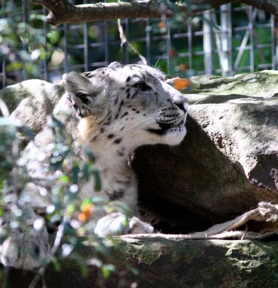 The super rare Snow Leopard