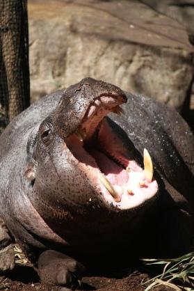 A yawning pygmy hippo