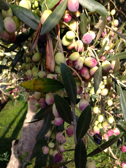 Here's a tip, don't eat olives straight off the tree. It's pretty gross.